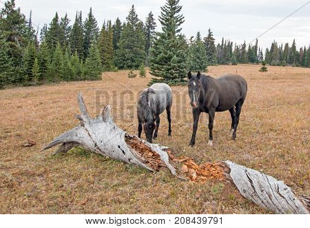 Wild Horses in Montana United States - Blue roan mare and Black stallion next to dead rotting log in the Pryor Mountains Wild Horse Range