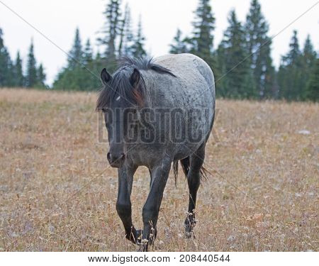 Blue Roan Yearling mare wild horse in the Pryor Mountains Wild Horse Range in Montana USA
