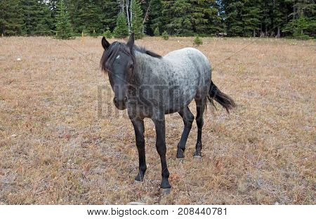 Blue Roan Yearling mare wild horse in the Pryor Mountains Wild Horse Range in Montana United States