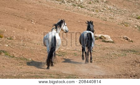 Wild Horses in Montana United States - Apricot Dun Pale White Buckskin stallion and Gray Grulla mare in the Pryor Mountains Wild Horse Range
