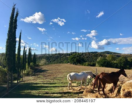 Typical country road in Tuscany, Italy lined with cypress trees along the fields and free horses feeding in the sun
