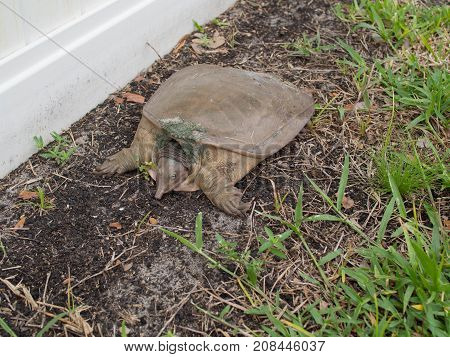 Large Snapping Turtle Chillin in a Backyard Winter Haven Florida