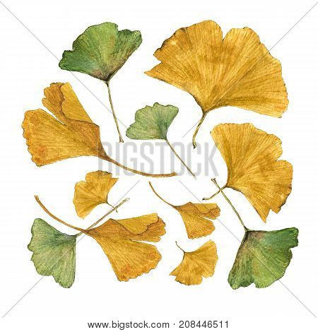 Botanical Watercolor Illustration Of Colorful Ginkgo Leaves On White Background