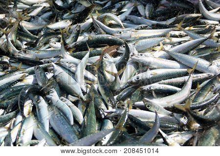 Fish for sale at wholesale fish market in Costa Caparica Portugal.
