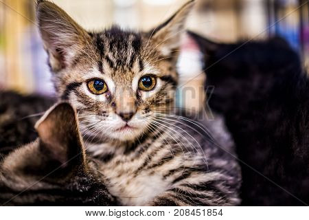 Closeup Portrait Of Small Tabby Kitten Looking Forward Cuddling Siblings With Large Amber Brown Eyes