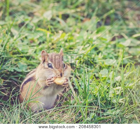 Eastern Chipmunk (Tamias Striatus) holds large nut in mouth