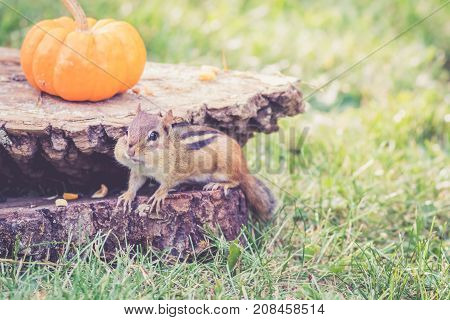 Eastern Chipmunk (Tamias Striatus) gathers nuts and seeds for fall with pumpkin