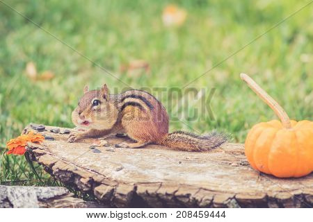 Funny little Eastern Chipmunk (Tamias Striatus) gathers nuts and seeds for fall