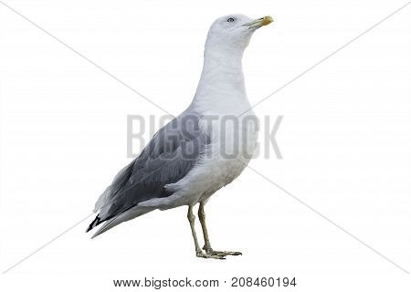 Seagull with white and gray plumage isolated on white background. Portrait of a sea bird in profile.