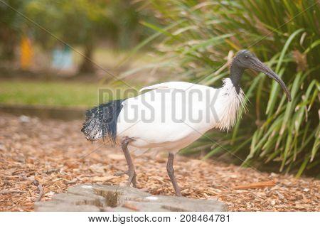 Straw-necked ibis walking in the park. Threskiornis spinicollis detail portrait of bird from Australia. Long bill dark head white body. Bird in the nature . Wildlife scene from Australia.