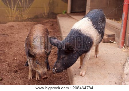Pigs eating food in the Zoo Australia.