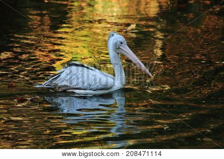 Pelican Bird On The Autumn Lake