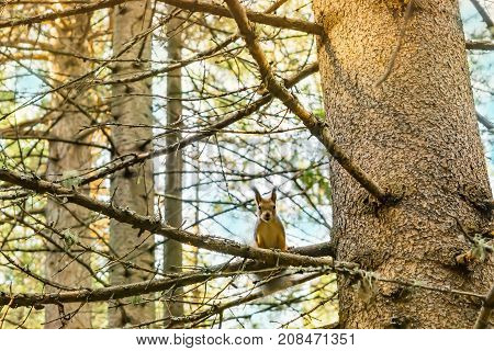 The trunk of a coniferous tree closeup with a squirrel sitting on a branch, autumn landscape