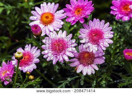Rain Soaked Pink Daisies Against Wet Green Foiliage Background