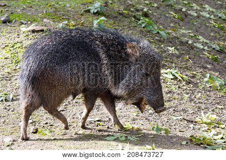 Nise Pig Chacoan Peccary, Catagonus Wagneri