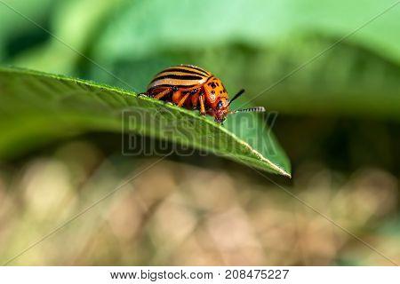 Colorado Beetle On Potato Leaves - Selective Focus