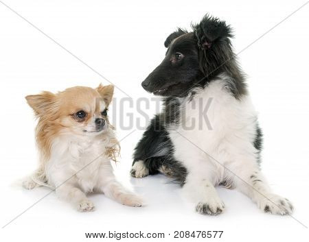 puppy shetland sheepdog and chihuahua in front of white background poster