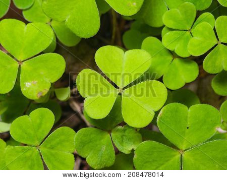 Common Wood Sorrel Oxalis acetosella leaves texture macro selective focus shallow DOF.