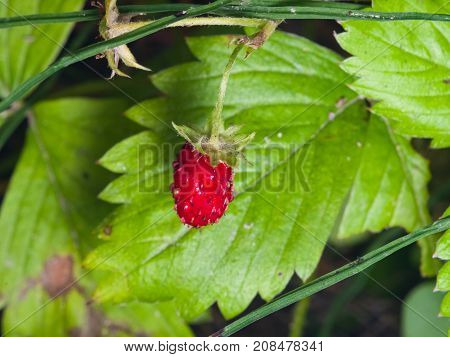 Red Fragaria Or Wild Strawberry on branch with leaf macro selective focus shallow DOF.