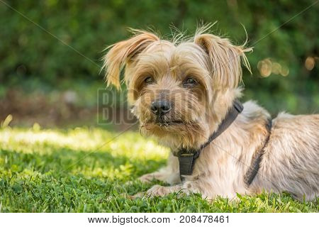Dog resting in the grass of a park. blurred green background. Doggy hairy ear, Yorkshire Terrier .