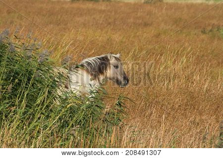 photo of a wild Konik horse standing in long grass