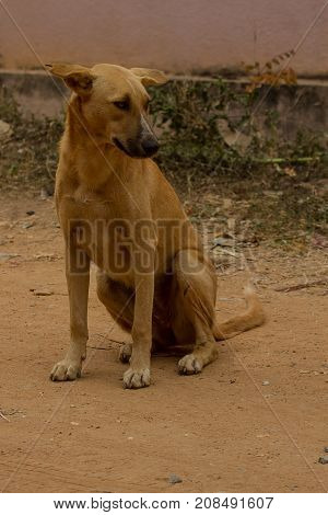 photo of a female feral dog in India poster