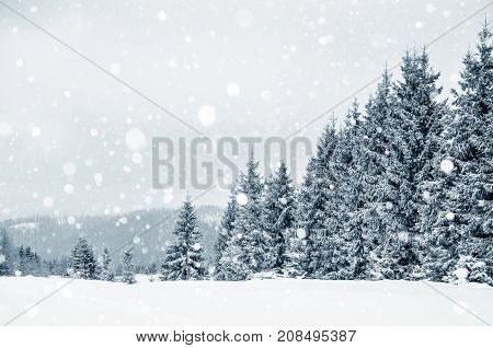 Fir Trees Covered With Hoarfrost And Snow In Mountains