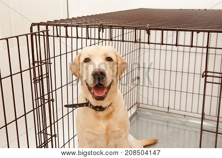 Dog in cage. Isolated background. Happy labrador lies in an iron box. Concept shelter for dogs, the best friend