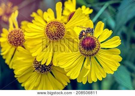 Bee Pollinating flowers, close up view .