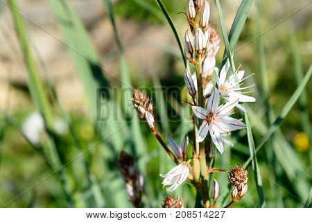 White asphodel flowers. Asphodelus albus. On green background