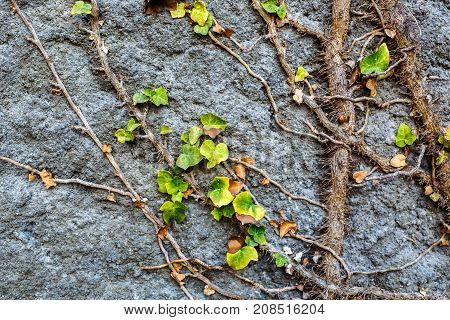 Old stone wall covered vegetation. roots and leaves of ivy, Photo Background.