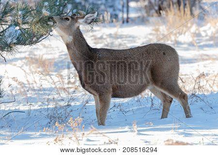 Mule deer browsing for food on the Colorado Prairie