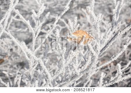 Frozen branches covered with a hoar-frost with one yellow leaf