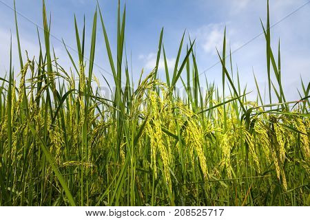 Rice spike in rice field of thailand.