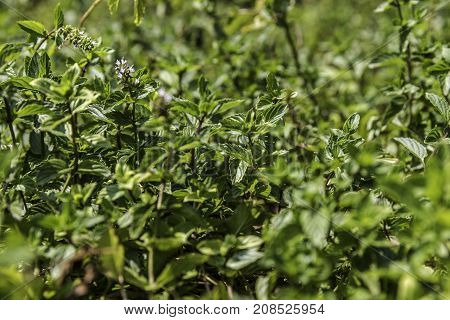 Lush green mint plant from side with white flowers sun light nature background
