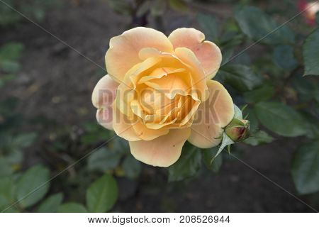 One rosa 'Anne Harkness' apricot-yellow flower and bud