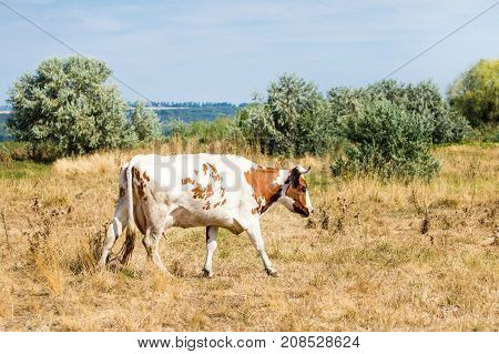 Beautiful brown and white spotted cow grazing at dry yellow autumn steppe meadow.