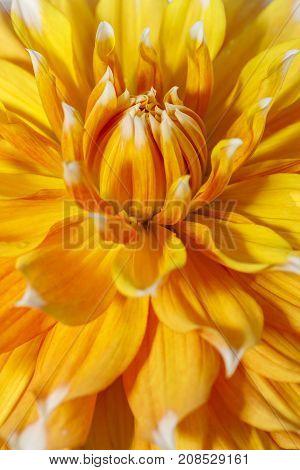 Close up of pretty dahlia flower. A macro image of a yellow dahlia flower.