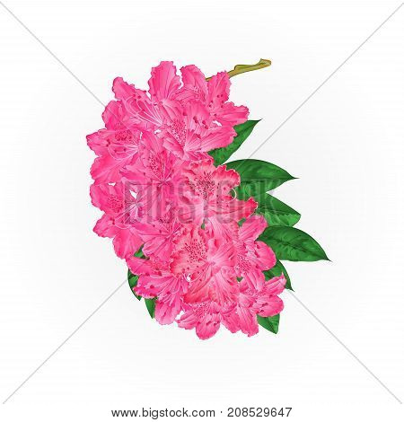 Branch pink flowers rhododendron mountain shrub vintage vector illustration editable hand draw