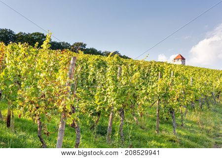 Vineyards in autumn. Autumnal landscape in the vineyards of Luxembourg at the Moselle on a sunny evening.
