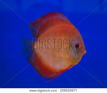 San Merah discus fish in a blue background