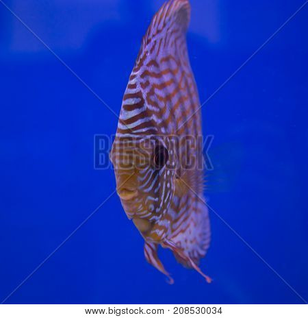 Turquoise discus fish in a blue background