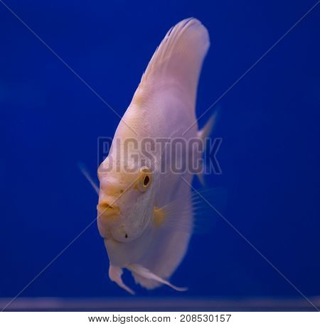 Albino discus fish in a blue background tank