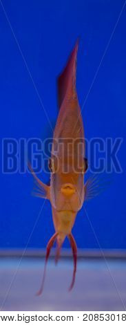 San Merah discus fish in a blue background tank