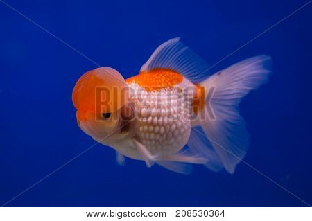 Bubble pearl scales goldfish in a blue background