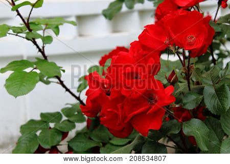 Beautiful red garden roses. Bushes red garden roses. Red roses on the bushes. Caring for garden shrubs roses. Landscape design