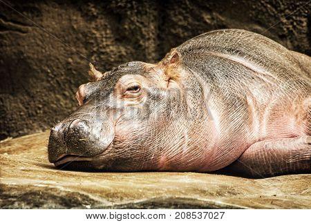 Hippo - Hippopotamus amphibius resting near the water. African natural scene. Yellow photo filter.