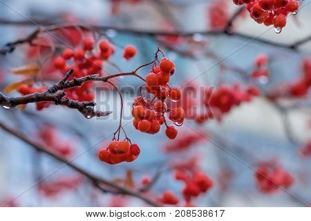 Red berries of mountain ash in drops of autumn rain