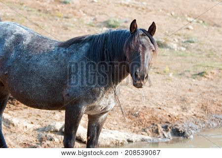 Liver Chestnut Bay Roan Stallion wild horse with water coming out of his mouth after drinking at water hole in the Pryor Mountains Wild Horse Range in Montana United States