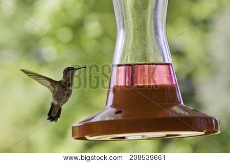 Wide close up view of a humming bird flying up to the edge of a feeder with soft focus red flowers and greenery at Pabineau Falls near Bathurst, New Brunswick on a bright sunny day with blue skies and clouds in August.